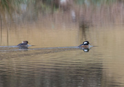 28th Jan 2020 - Hooded Merganser