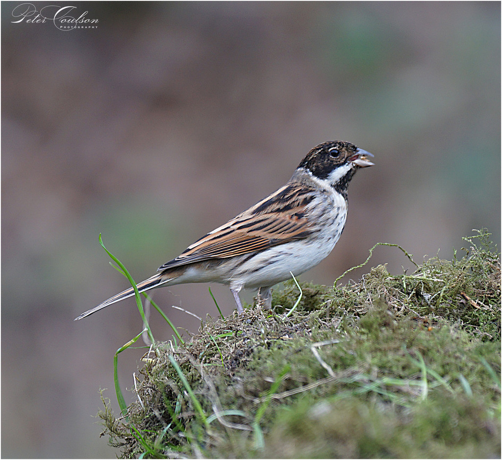 Reed Bunting by pcoulson