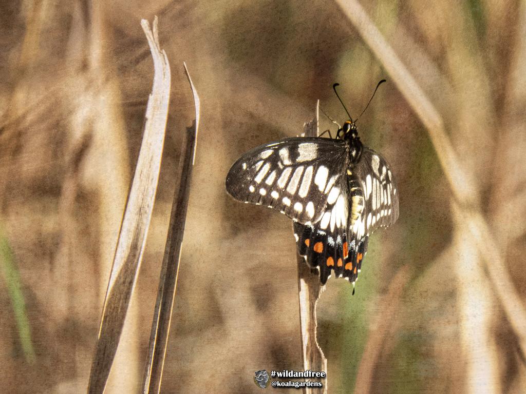 citrus swallowtail by koalagardens