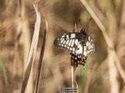 29th Jan 2020 - citrus swallowtail