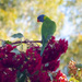 Rainbow Lorrikeet Resting in the Shade by ethelperry