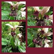 28th Jan 2020 - The Bat Plant flowers again...