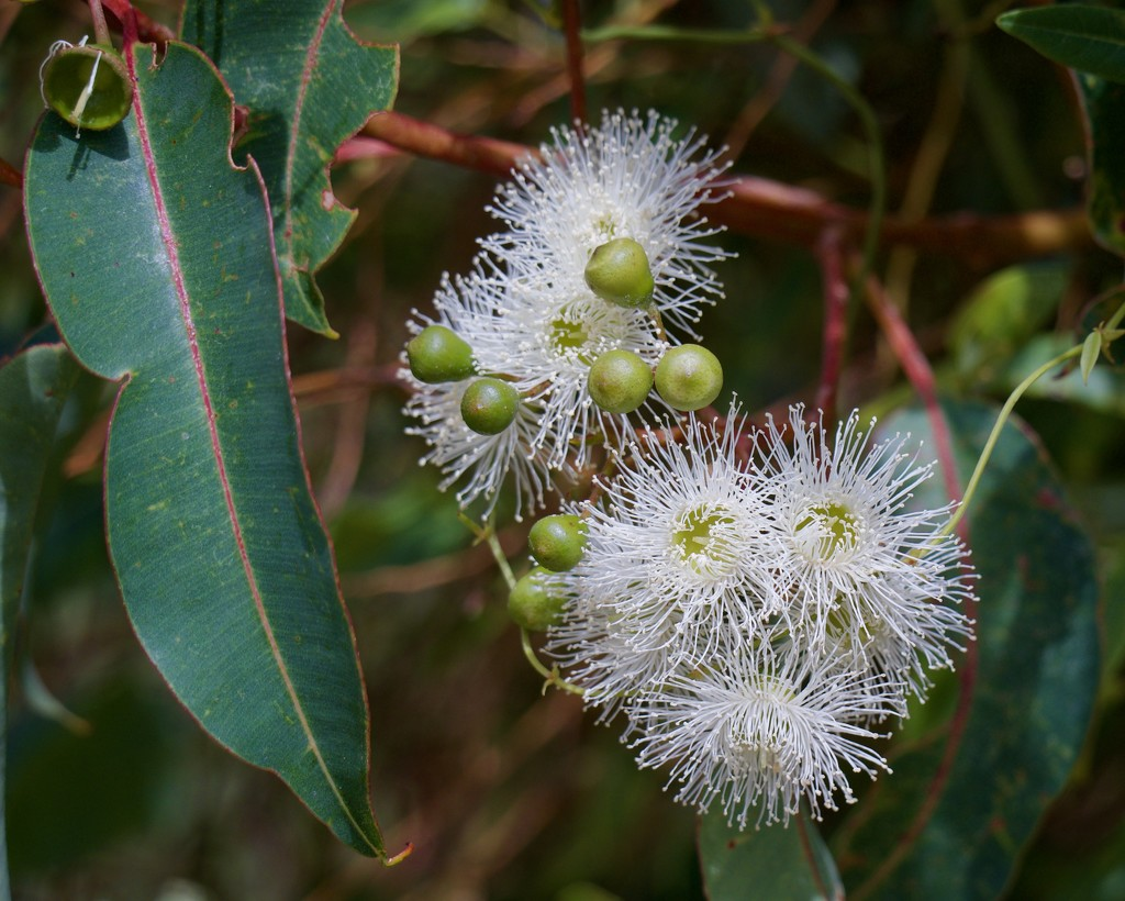 Flowering Gum P1300833 by merrelyn