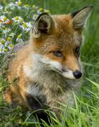 30th Jan 2020 - Fox Cub