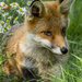 Fox Cub  by shepherdmanswife