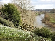 30th Jan 2020 - Snowdrops and the River Wye