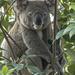 Huge Hugo by koalagardens