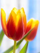 30th Jan 2020 - A tulip