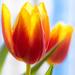 A tulip by haskar