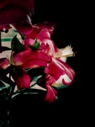 31st Jan 2020 - Lilies close-up