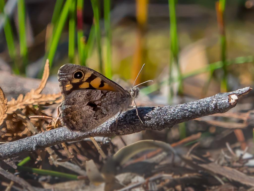 Junonia villida (Meadow Argus) by gosia