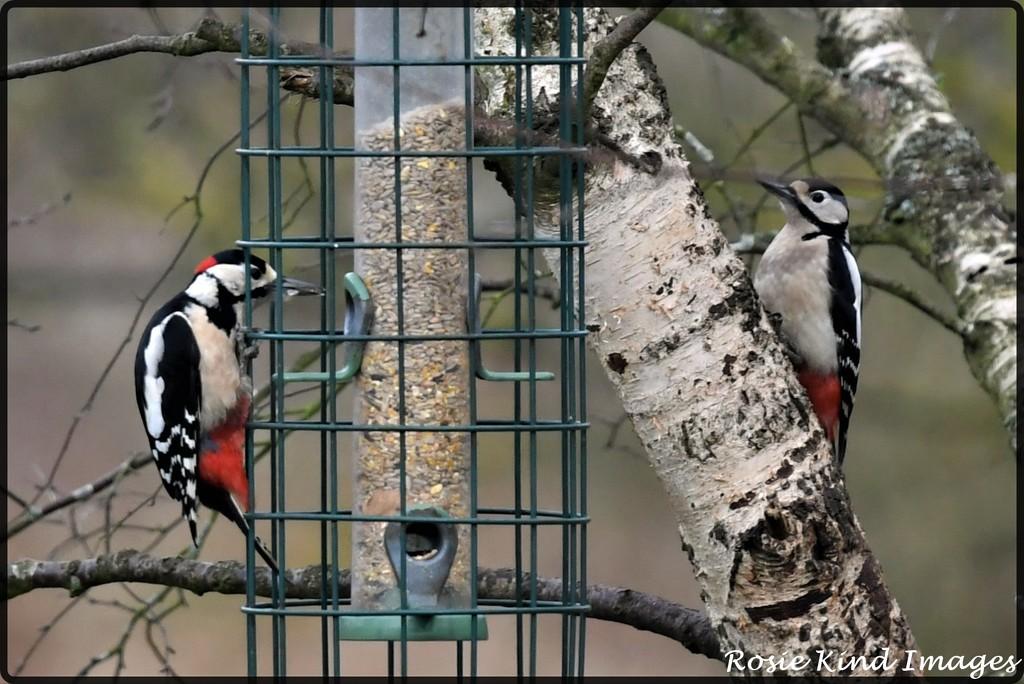 Mr and Mrs Woodpecker by rosiekind