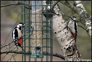 31st Jan 2020 - Mr and Mrs Woodpecker