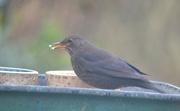 30th Jan 2020 - Female Blackbird
