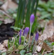 31st Jan 2020 - Purple Crocus Buds