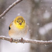 Goldfinch on a Snowy Day by mgmurray