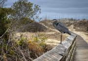 31st Jan 2020 - Boardwalk Blue Heron