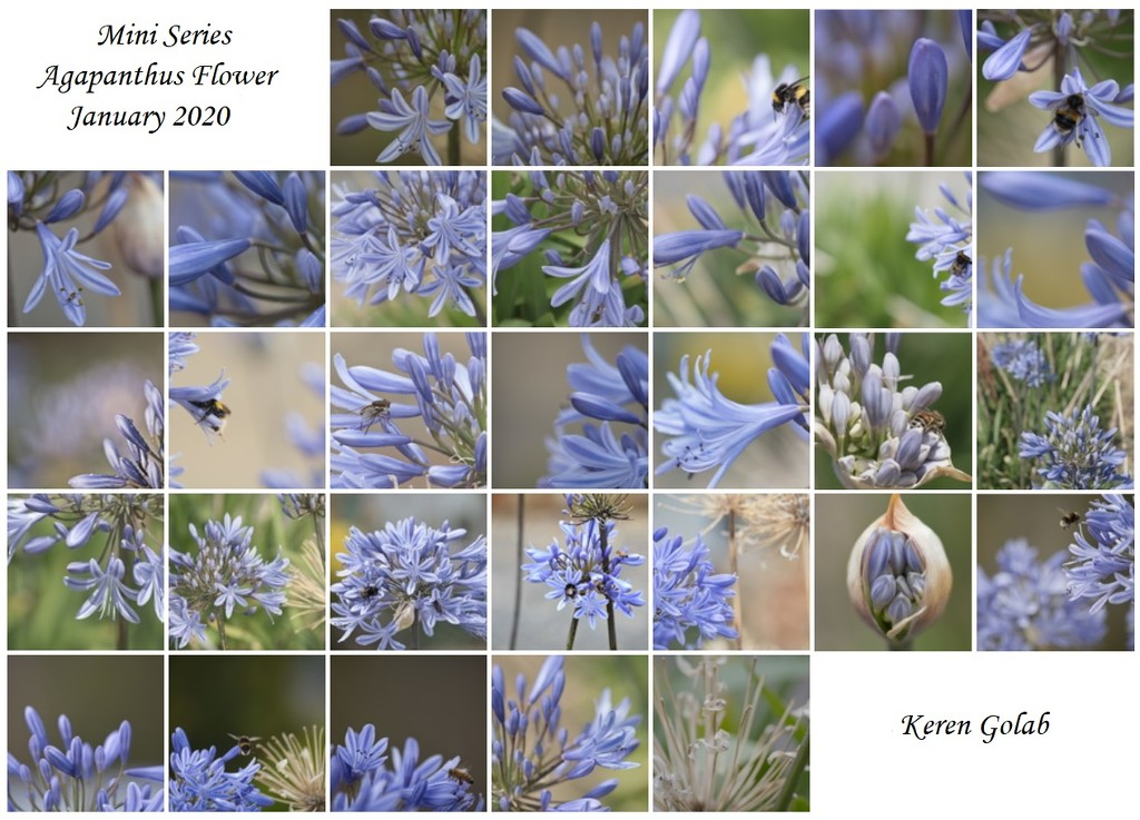 January Series - A month of Agapanthus by kgolab