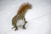 26th Jan 2020 - Little squirrel