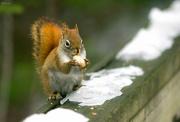 30th Jan 2020 - Squirrel
