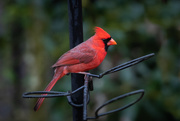 31st Jan 2020 - Cardinal at the feeder today