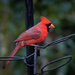 Cardinal at the feeder today by jnorthington