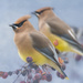 A Pair of Cedar Waxwings by skipt07