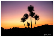 1st Feb 2020 - Cabbage Tree in Sunset...  #2