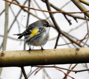 1st Feb 2020 - Yellow-Rumped Warbler
