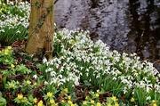 1st Feb 2020 - Snowdrops & Aconites