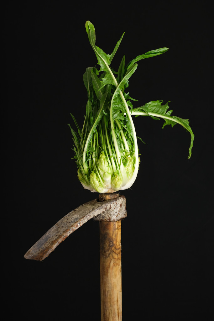 Puntarelle by angelikavr