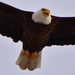 bald eagle flyover this morning by mjalkotzy