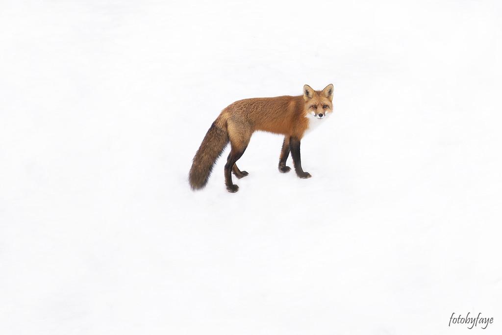 Nothing but fox by fayefaye