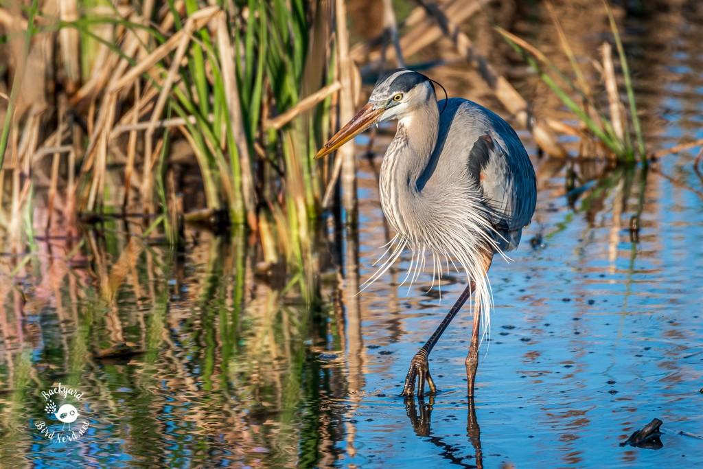 Great Blue Heron by backyardbirdnerd