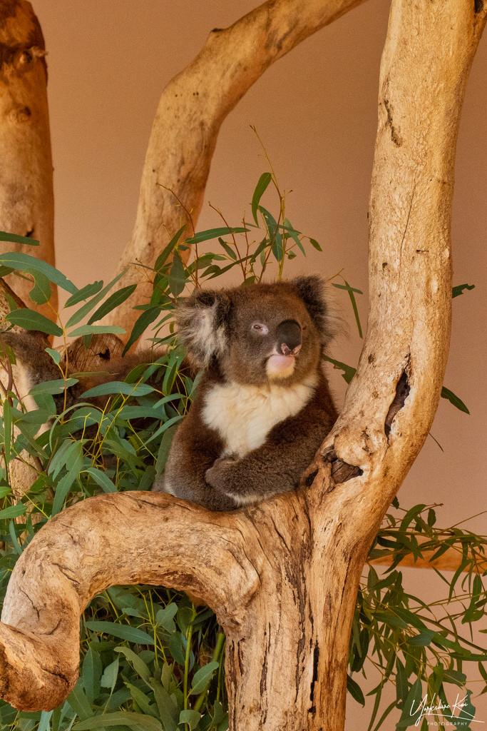 Koala by yorkshirekiwi