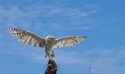 2nd Feb 2020 - A Southern Barn Owl