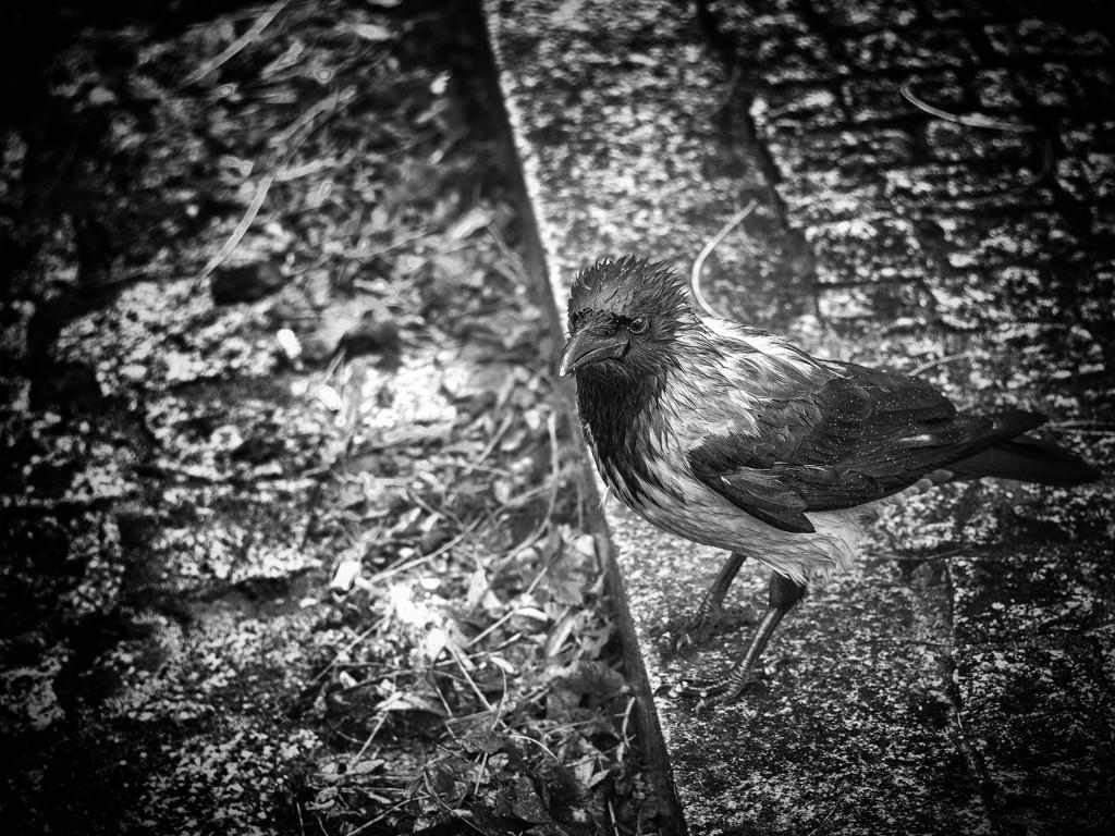 A wet crow by haskar
