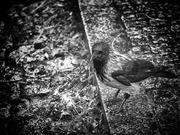 31st Jan 2020 - A wet crow