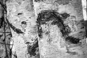 1st Feb 2020 - Birch Trees
