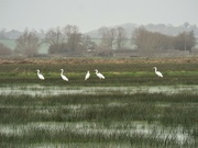 2nd Feb 2020 - Great White Egrets