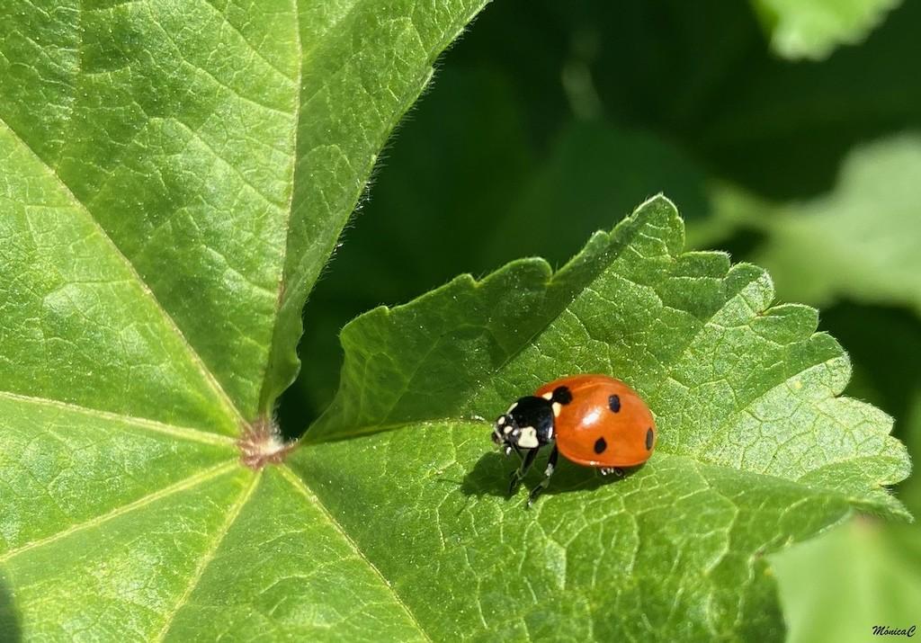Ladybug by monicac