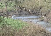 2nd Feb 2020 - Heron on zoom