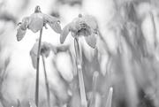 2nd Feb 2020 - Raindrops on Snowdrops