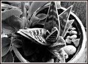 3rd Feb 2020 - Aloe in a pot
