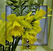 3rd Feb 2020 - Daffodils
