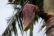 3rd Feb 2020 - A graceful Bangalow Palm seed pod