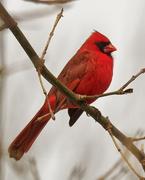 2nd Feb 2020 - northern cardinal closeup