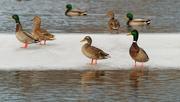 2nd Feb 2020 - mallards on ice
