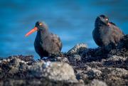 1st Feb 2020 - Black Oystercatchers