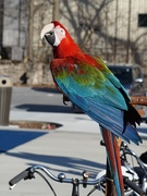 2nd Feb 2020 - This parrot goes for bike rides